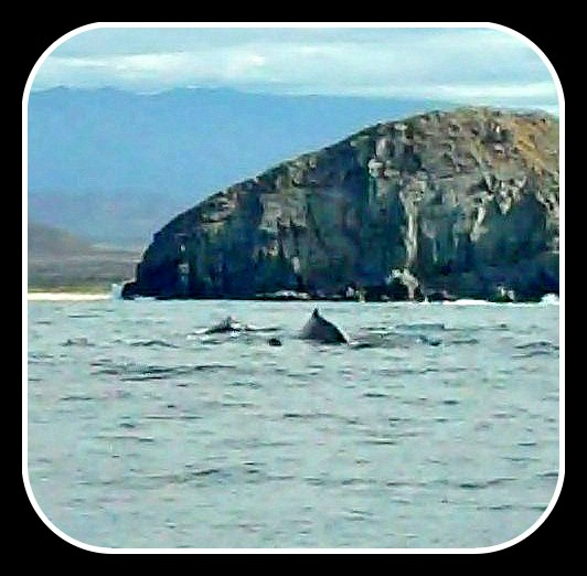 A family of humpbacks. Mommie, Daddie and youngun.