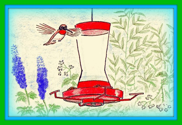 I drew this rufous hummer during one of their short annual visits.